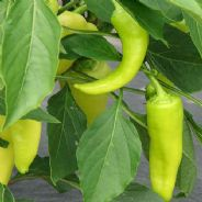 Sweet Pepper Sweet Banana - 250 seeds
